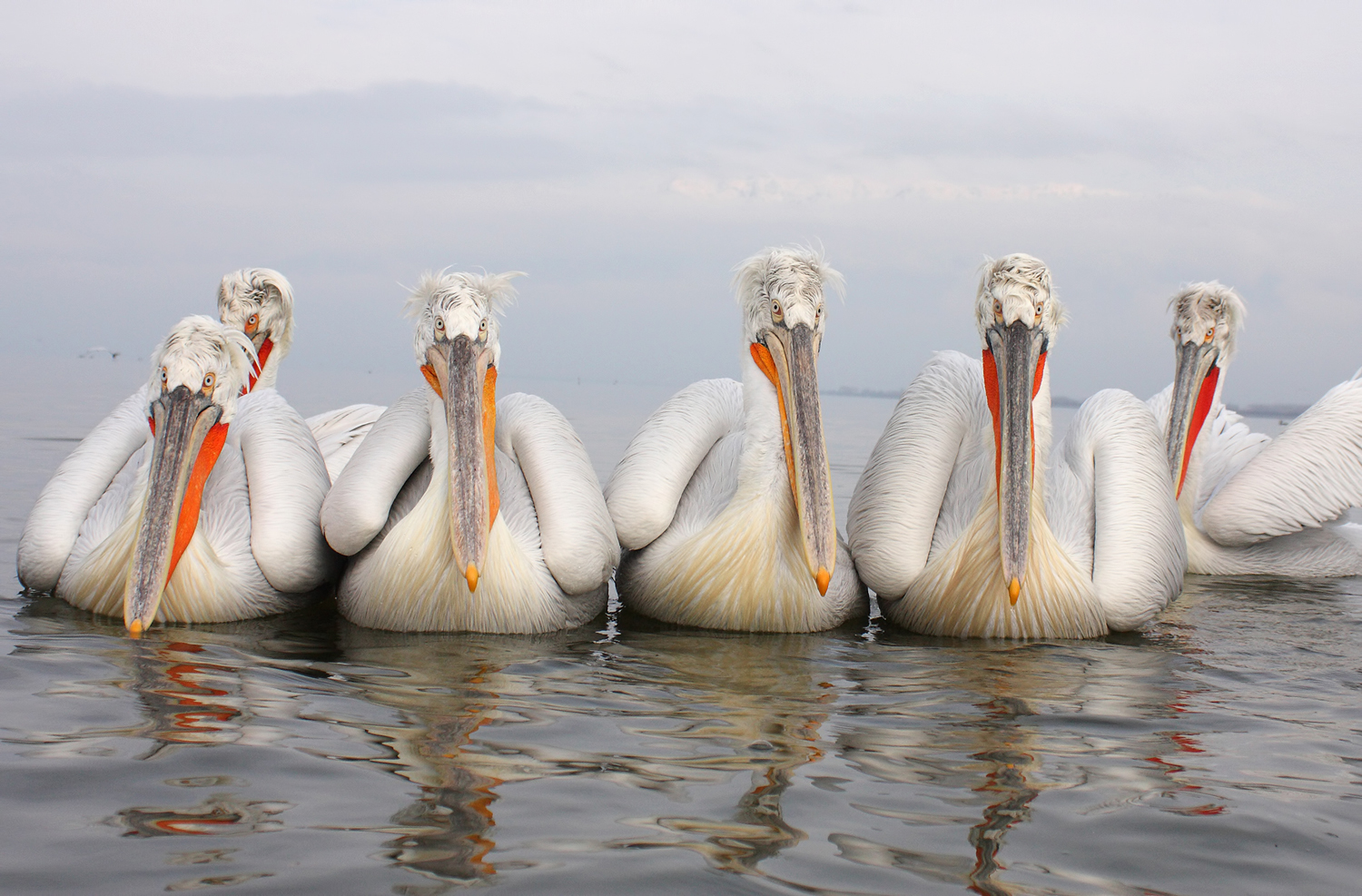 Dalmatian Pelicans by Mladen Vasilev_home page_1500pix