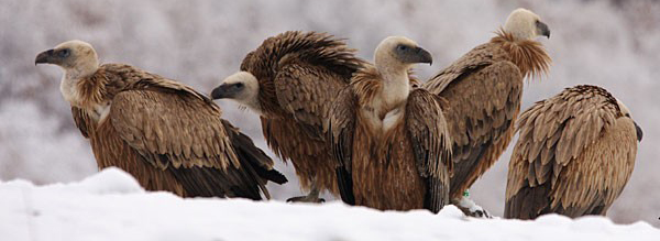 Griffon vultures by Mladen Vasilev_header photo