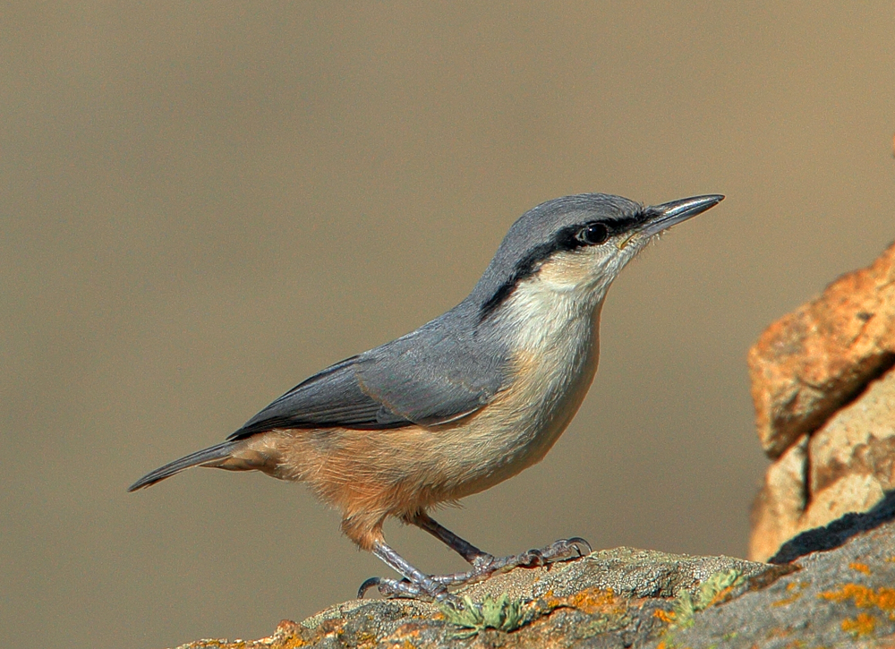 Western Rock Nuthatch by Mladen Vasilev_small