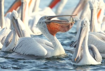 Dalmatian Pelicans by Mladen Vasilev