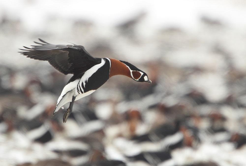 Red-breasted Goose by Mladen Vasilev