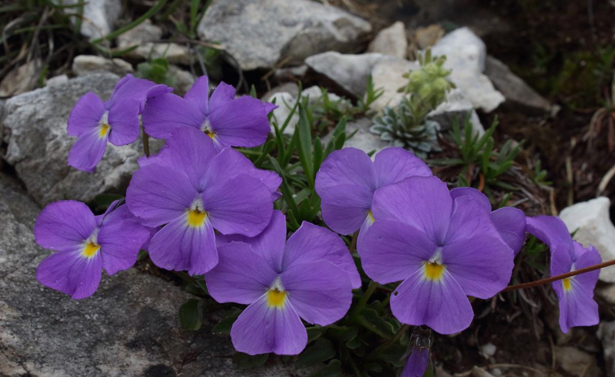 Viola pirenaica by Dimiter Georgiev