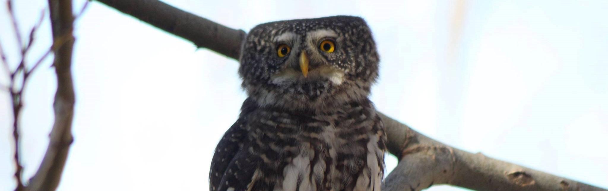 Eurasian Pygmy Owl by Simeon Gigov